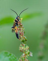 Schlupfwespe (Ichneumon extensorius)
