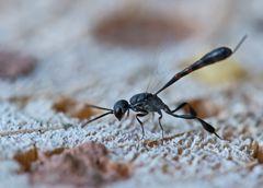 Schmalbauchwespe (Gasteruptionidae)