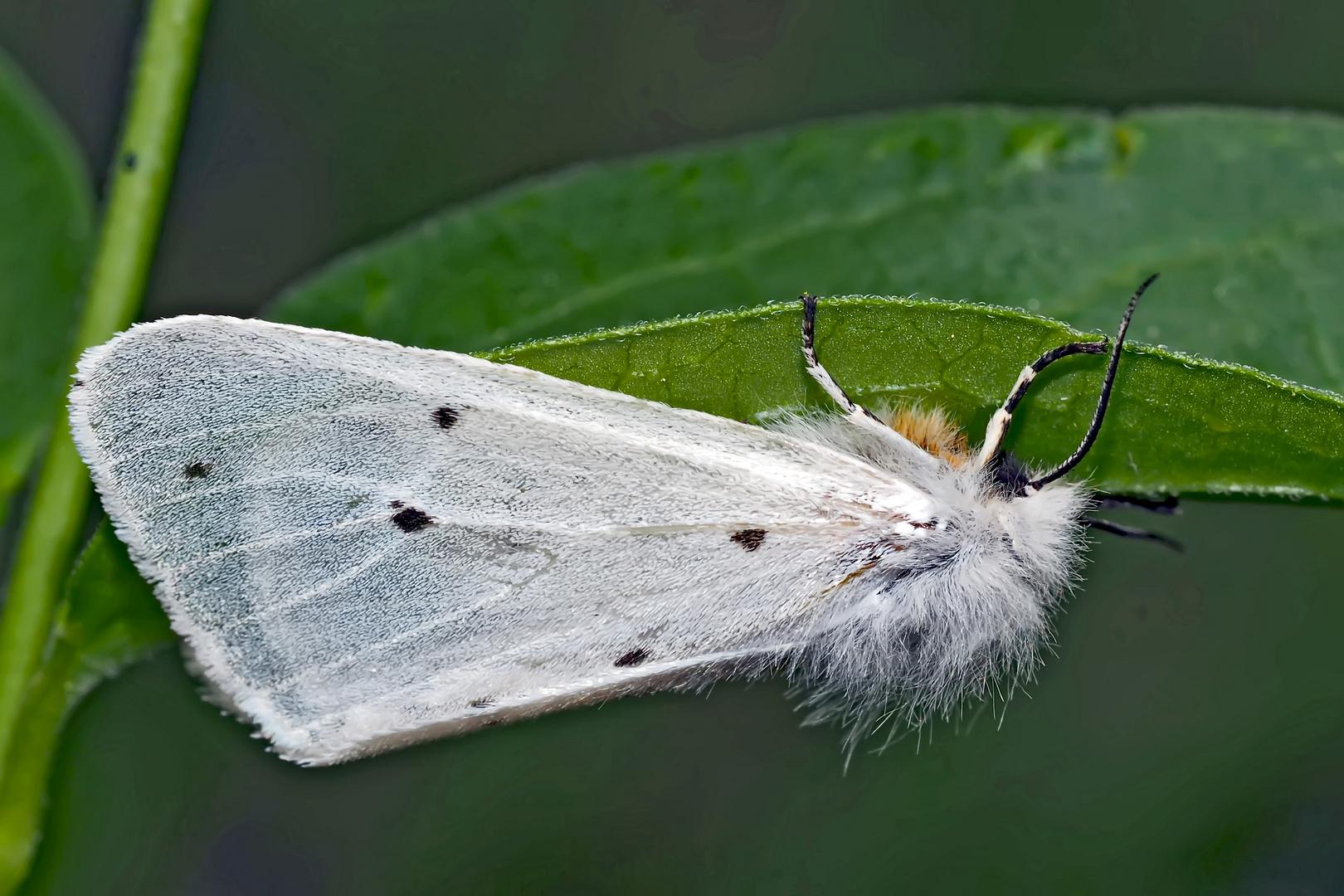 Schmalflügeliger Fleckleibbär (Spilosoma urticae) - L'Ecaille de l'Ortie.