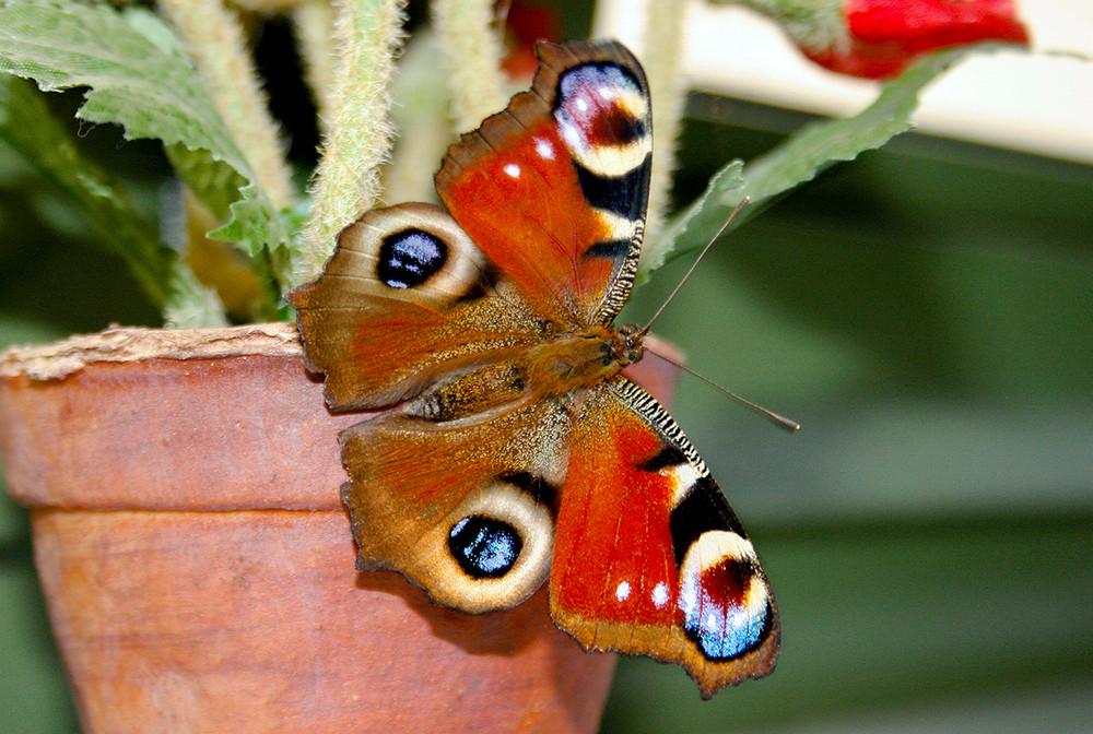 Schmetterblümchen