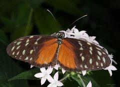 Schmettering Tarricina Long Wing- Tithorea tarricina