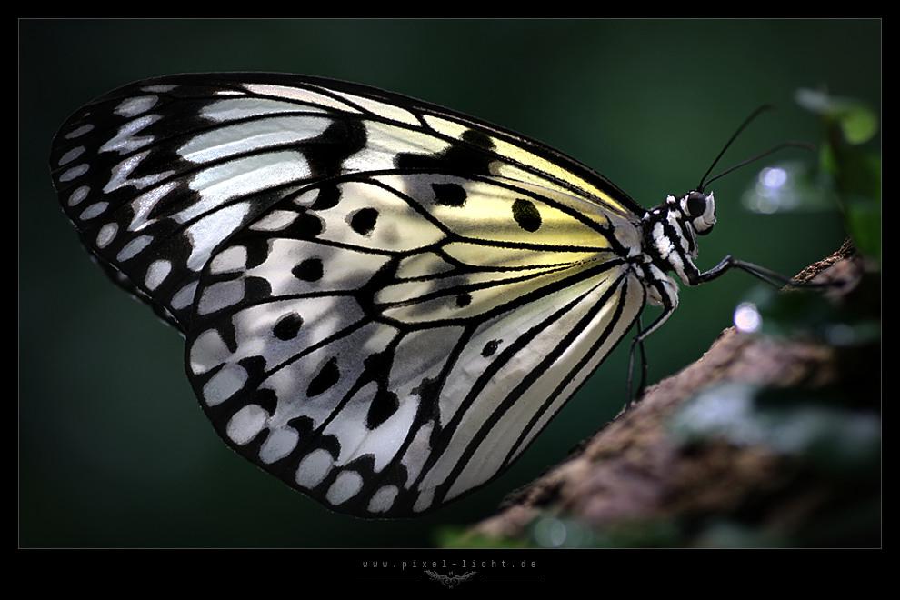 Schmetterlicht