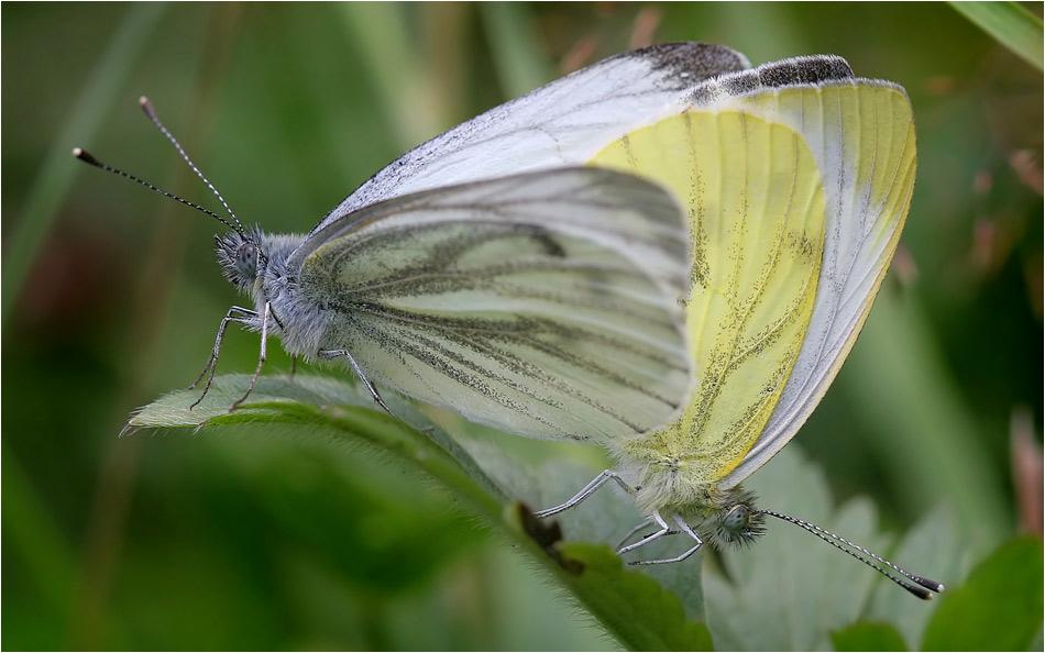 Schmetterliebe