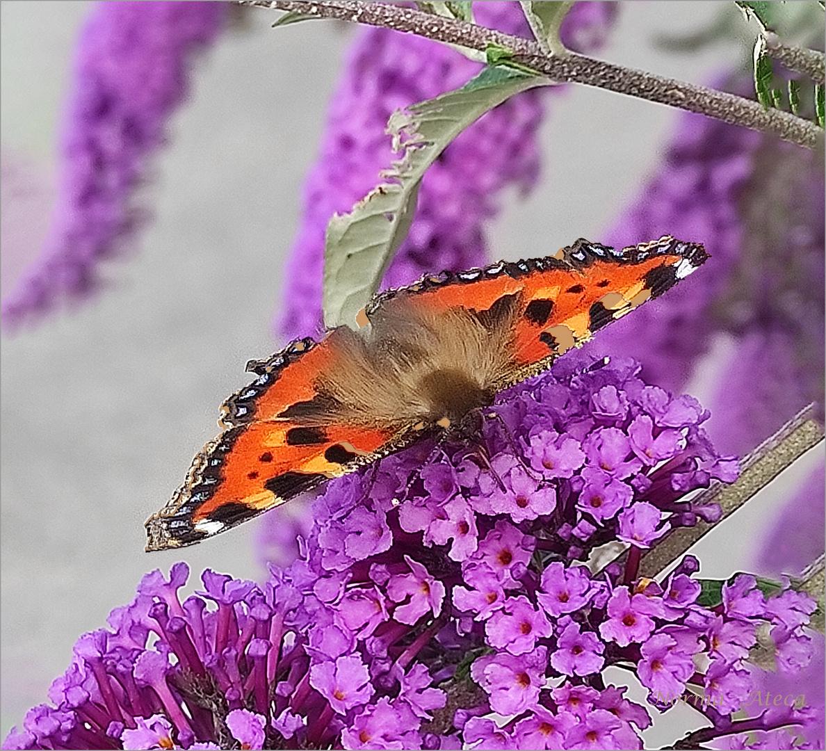 Schmetterlig II