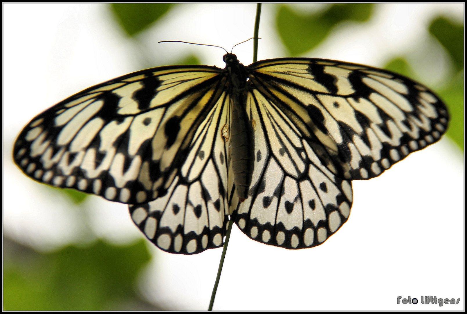 Schmetterling 08