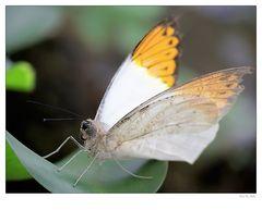 Schmetterling 0902