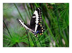 Schmetterling 0905