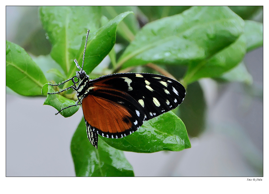 Schmetterling 0906