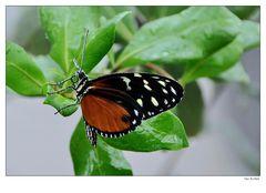 Schmetterling 0906