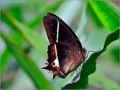 Schmetterling 0907