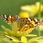 ... Schmetterling...