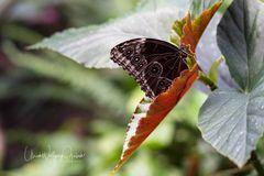 Schmetterling 1