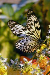 Schmetterling - 1