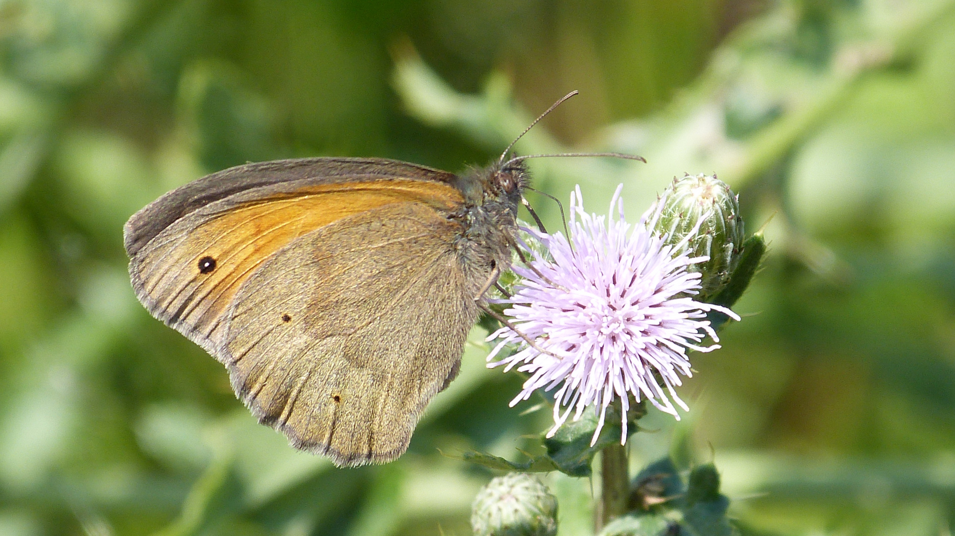Schmetterling 14