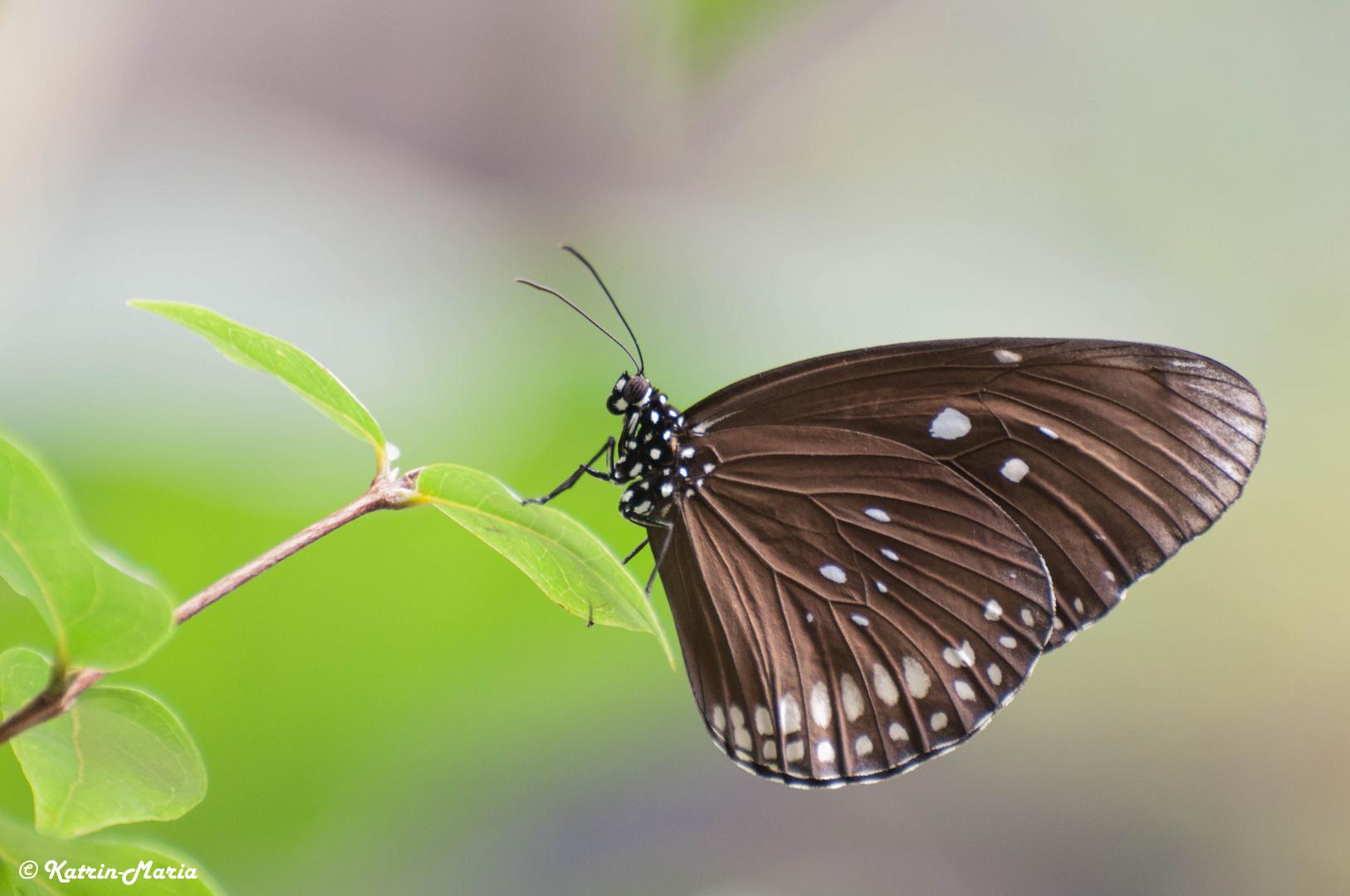 Schmetterling 16