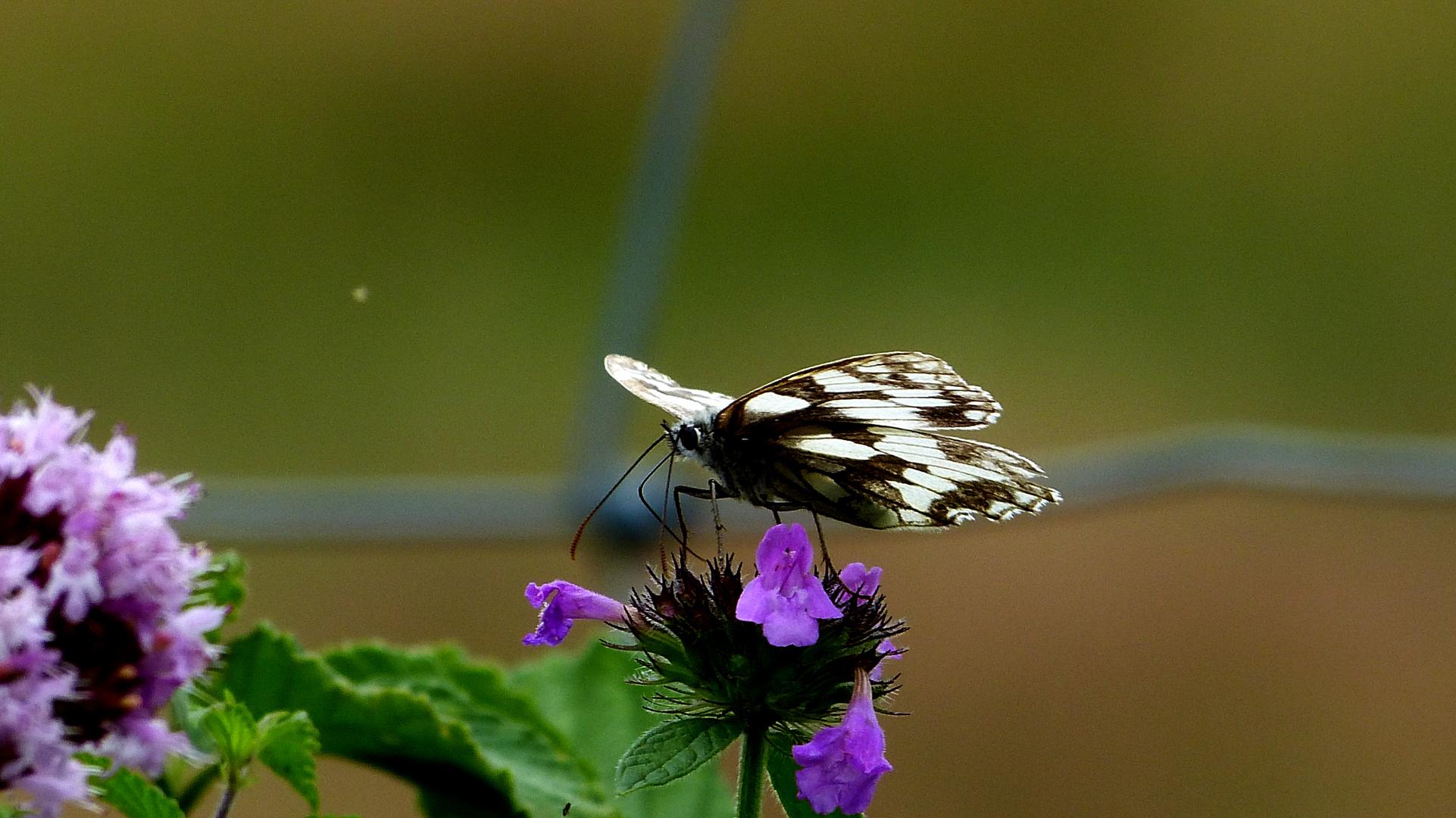 Schmetterling 19