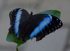 Schmetterling #2