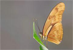 Schmetterling (2) -reload-
