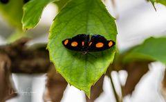 Schmetterling 28