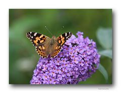 Schmetterling # 3167