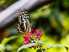 Schmetterling 32