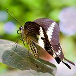 -Schmetterling-.