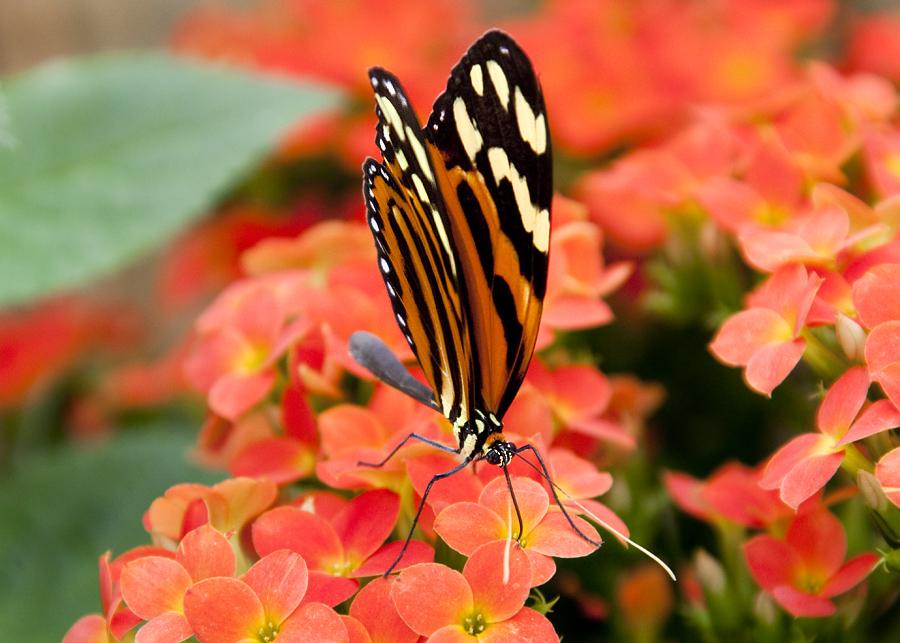 ..Schmetterling