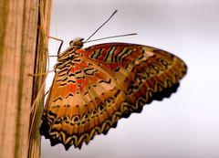 Schmetterling #4