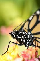 Schmetterling # 4