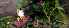 Schmetterling 40