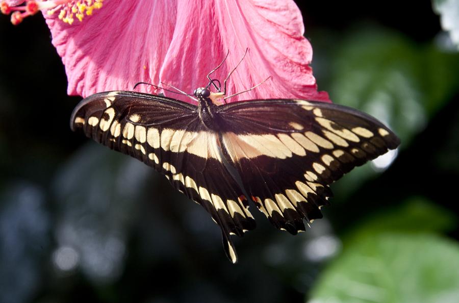 ;Schmetterling;