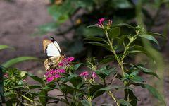Schmetterling 42