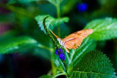 Schmetterling 47, Juliafalter Dyras julia