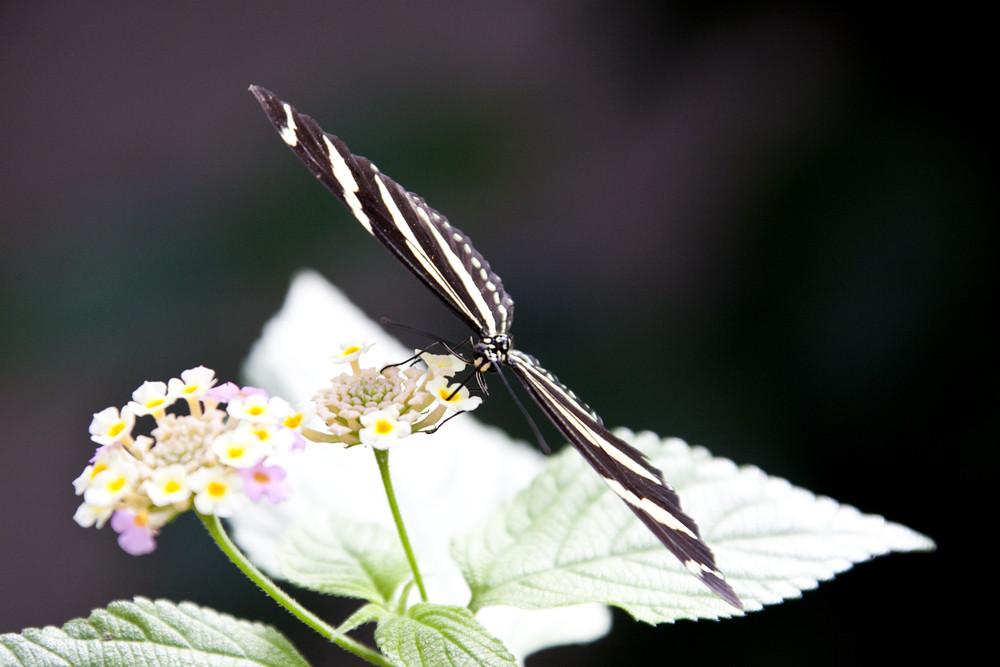 .Schmetterling