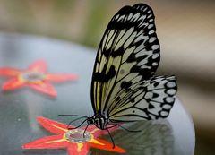 Schmetterling #6