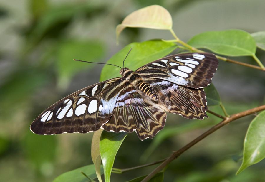 .Schmetterling.