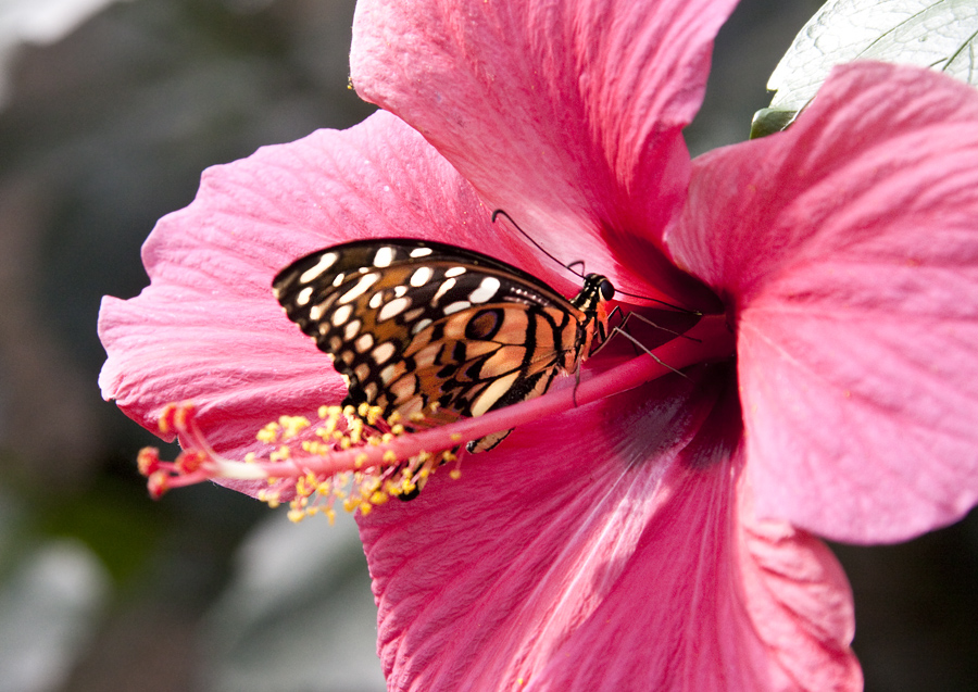 --Schmetterling--