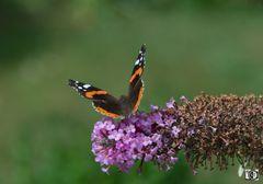 Schmetterling Admiral Abflug