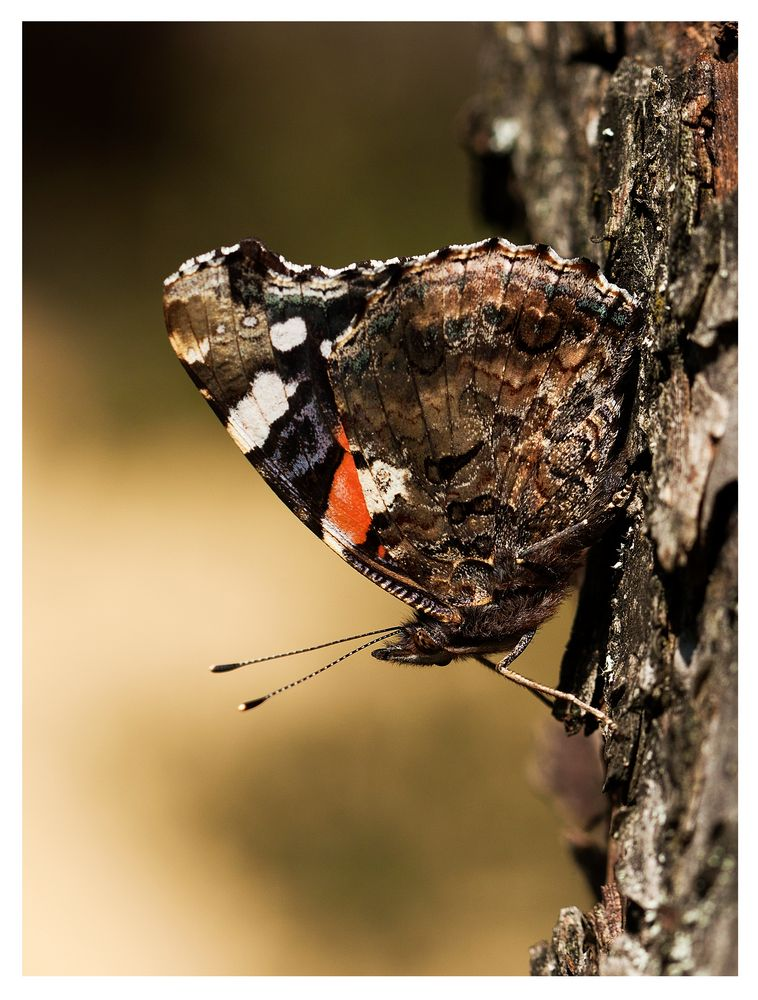 Schmetterling (Admiral) beim Sonnenbad