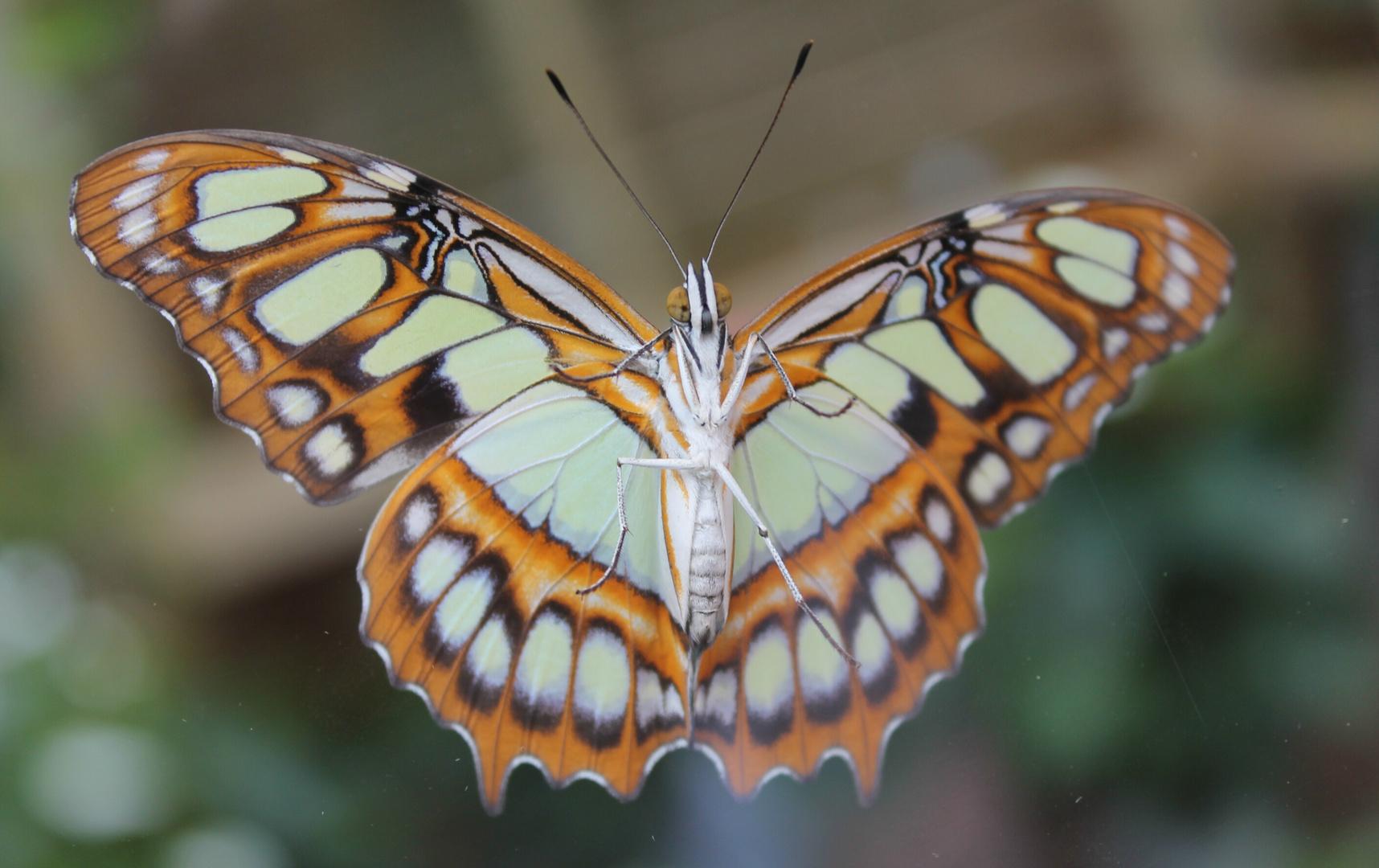 Schmetterling am Fenster