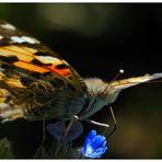 Schmetterling am Rande vom Rapsfeld