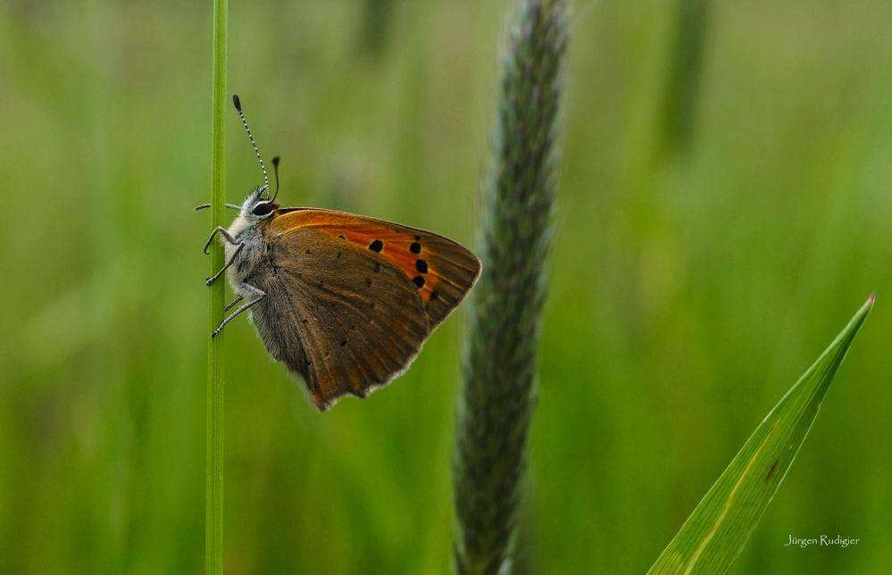 Schmetterling an Grashalm