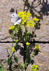 Schmetterling-an-Mauer