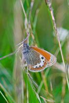 Schmetterling auf Alpweide (Alpen Wiesenvögelchen)