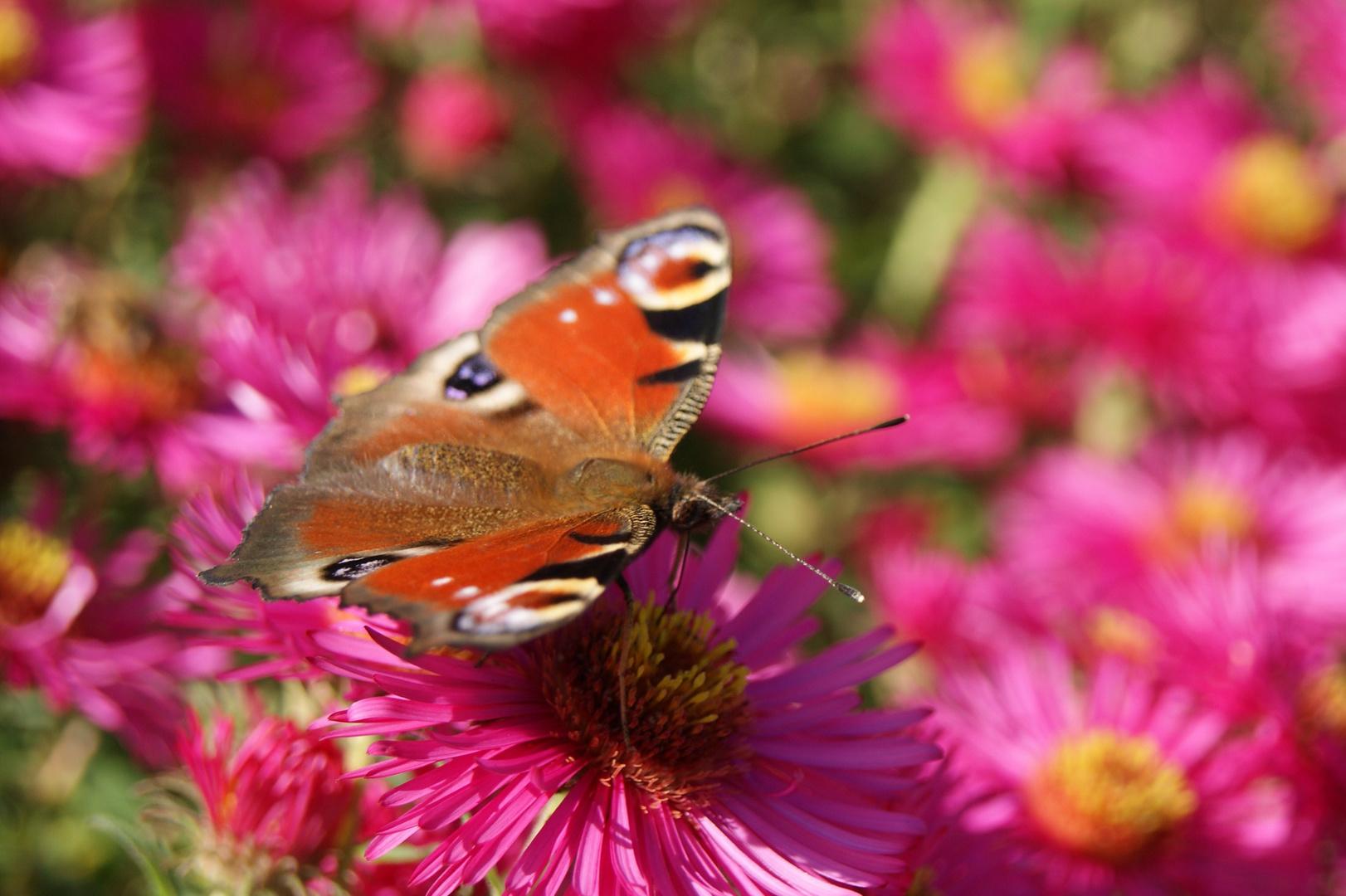 Schmetterling auf Bauernaster