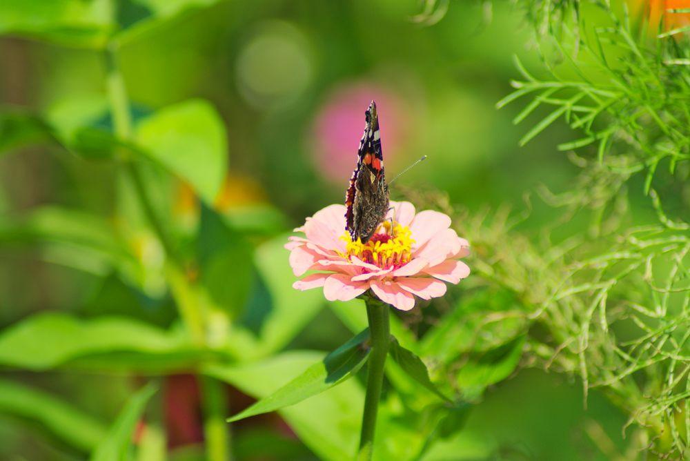 Schmetterling auf Blume 2