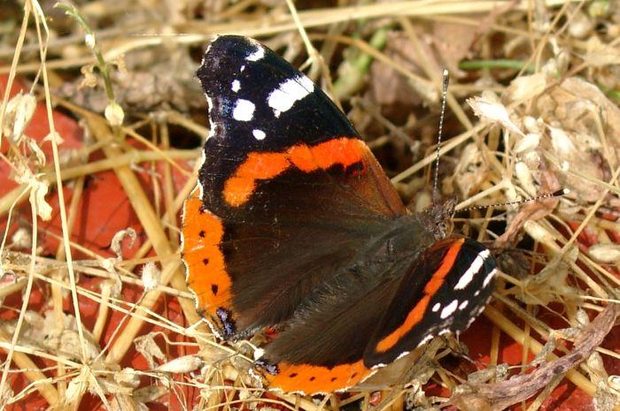 Schmetterling auf Blumenkasten