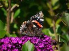 Schmetterling auf dem Schmetterlingsflieder