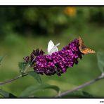 Schmetterling auf der Blüte V
