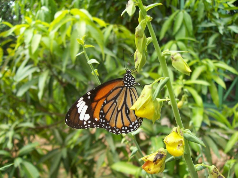 Schmetterling auf der Insel Koh Phi Phi